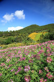 Purple wild flower field near mountain in Chiang Mai, Thailand Royalty Free Stock Photography