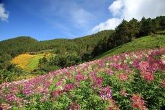 Purple wild flower field near mountain in Chiang Mai, Thailand Royalty Free Stock Photo