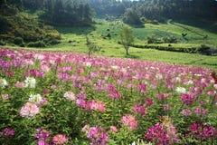 Purple wild flower field near mountain in Chiang Mai, Thailand Royalty Free Stock Photos