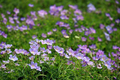 Purple wild flower field near mountain in Northern India Stock Photography