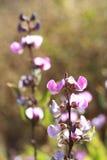 Purple wild flower Royalty Free Stock Photos