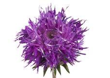 Purple wild flower isolated Stock Photography