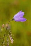 Purple Wild Flower Macro Royalty Free Stock Photography
