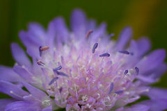 Purple wild flower in a meadow. Knautia close-up shot Royalty Free Stock Images