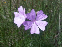 Purple wild flower Stock Image