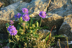 Purple wild flower. Some of purple wild flower are blooming near by rocks. Scientific name: Scabiosa tschiliensis Stock Image
