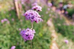Purple wild flower Stock Images