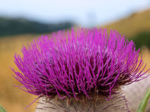 Purple wild flower thistle Royalty Free Stock Photos