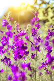 Purple wild flowers Royalty Free Stock Images