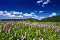 Purple wild flowers, deep blue sky and mountains. In Eastern Europe Stock Image