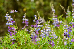 Purple wild flowers in the forest Stock Photos