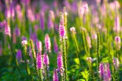 Purple wild flowers Royalty Free Stock Photos