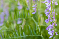 Purple wild flowers on green blurred nature background Royalty Free Stock Photos