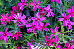 Purple wild flowers. And green foliage background Stock Photo