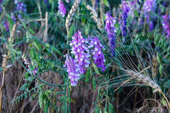 Purple wild flowers. And green foliage background Royalty Free Stock Photo
