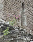 Purple Wild Flowers Growing on Tintern Abbey Ruins Stock Photo