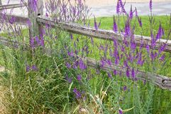 Purple wild flowers next to a old wooden fence royalty free stock image