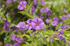 Purple wild flowers in spring. Under the sun Royalty Free Stock Images