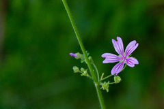 Common Mallow (Malva Sylvestris) Stock Photo