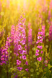 Purple wild flowers Royalty Free Stock Image