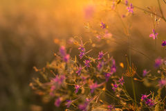 Purple wild flowers. On sunset Stock Image