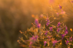 Purple wild flowers. On sunset Stock Images