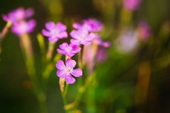 Purple Wild Forest Flower, Russian Summer Nature Stock Photos