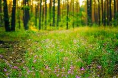 Purple Wild Forest Flower, Russian Summer Nature Stock Photo