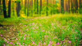 Purple Wild Forest Flower, Russian Summer Nature Royalty Free Stock Image
