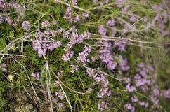 Purple Wild Herb. Closeup Shot Stock Photos