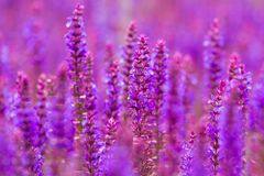 Purple wild lupins flowers Stock Image