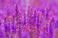 Purple wild lupins flowers Stock Image