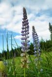 Purple, wild Lupins Lupinus polyphyllus Royalty Free Stock Photo