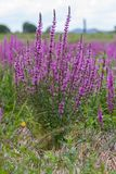 Purple wild marsh flowers growing in summer Royalty Free Stock Photo