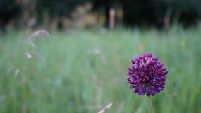 Purple wild onion flower in a meadow royalty free stock image