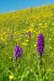 Purple wild Orchid Stock Photos