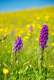 Purple wild Orchid Royalty Free Stock Photography