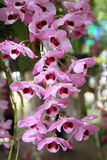 Purple wild orchid, Thailand Stock Photography