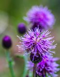 Purple wild thistles in portrait. In the forest, Banff National Park, Alberta, Canada Stock Photo