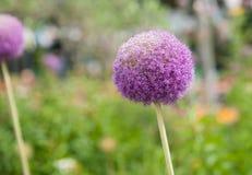 Purple wildflower closeup Stock Images
