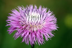 Purple Wildflower Macro. Close up of a purple thistle wildflower in full bloom on a dark green background royalty free stock photos