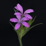 Purple Wildflower Royalty Free Stock Photo