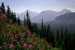 Purple wildflower mountain landscape Royalty Free Stock Image