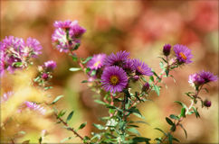 Purple Wildflower Passion Royalty Free Stock Photography