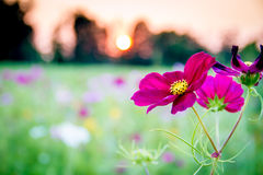 Purple Wildflower at Sunset Stock Images