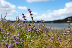 Purple wildflowers. Close up of purple wildflowers on the side of a lake in the black mountains in France Royalty Free Stock Photography