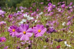 Purple Wildflowers. In a Field Stock Photos