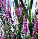 Purple wildflowers. A background of purple wildflowers stock image