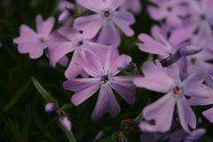 Purple wildflowers Royalty Free Stock Photography