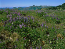 Purple wildflowers along the Skyline Divide Trail, North Cascade Range, Washington stock photos